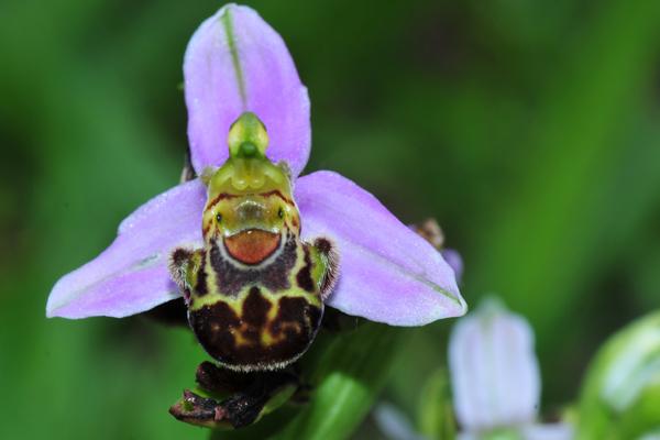 orchidea selvatica nel mio campo di  centimetri 2