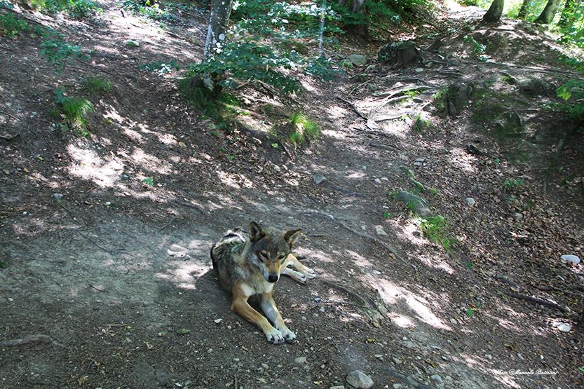 Il lupo del Parco dell'Adamello