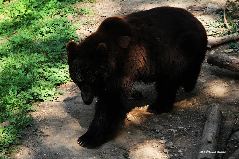 Nel parco vive L'orso bruno