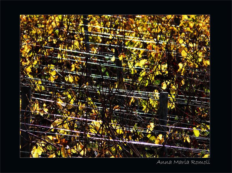 San Casciano - filari di viti con i colori autunnali