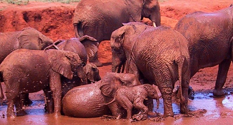 Kenia - gruppo di elefanti con elenfatini