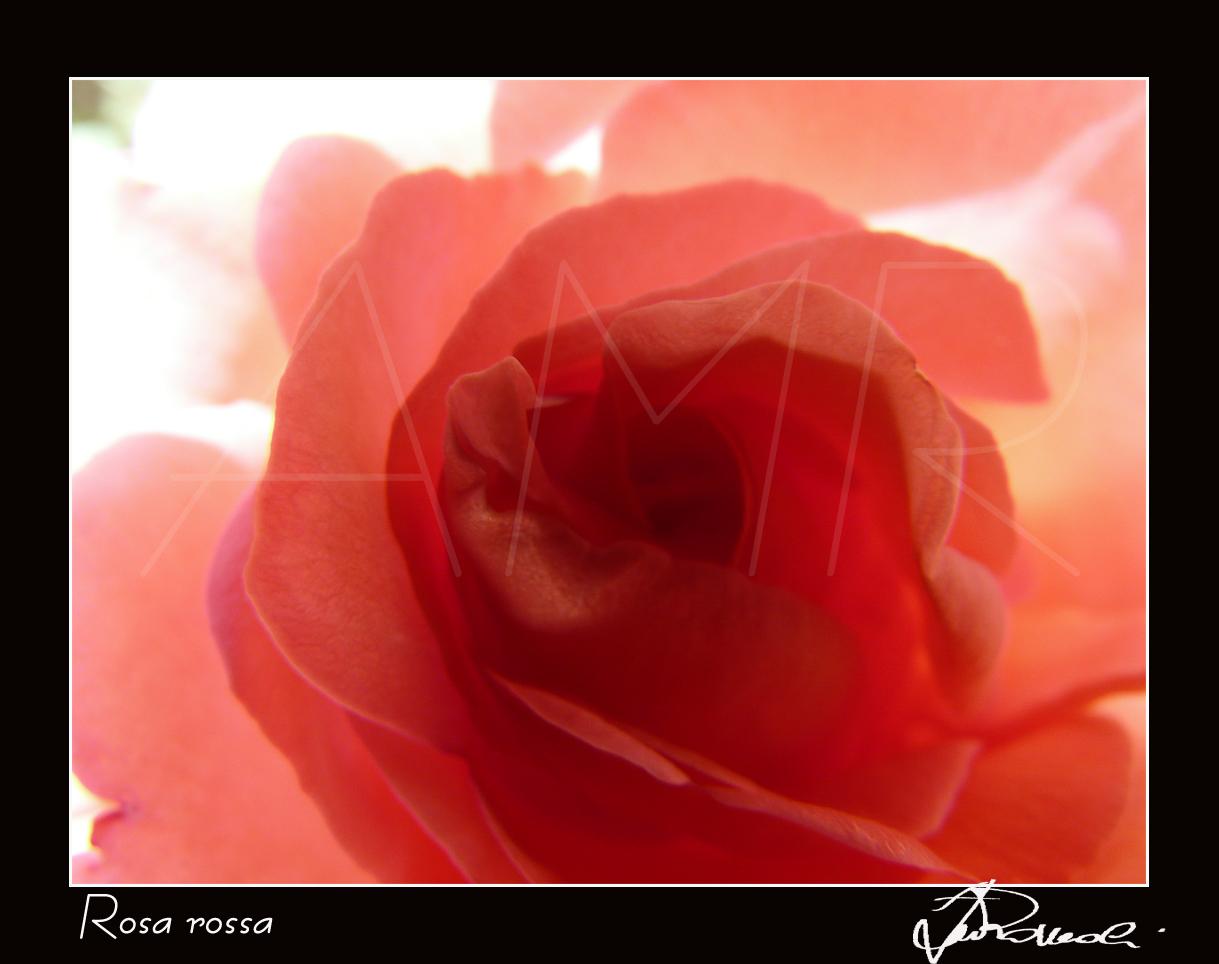 Rosa rossa  Il nome, secondo alcuni, deriverebbe dalla parola sanscrita vrad o vrod, che significa flessibile. Secondo altri, invece, il nome deriverebbe dalla parola celtica rhood o rhuud, che significa rosso. La rosa, della famiglia delle Rosaceae, è un