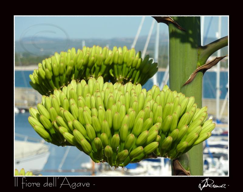 Il fiore dell'Agave